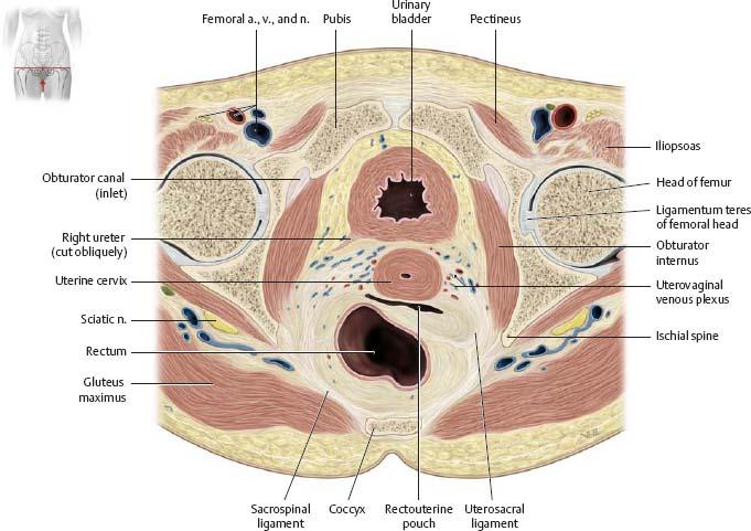Reproductive Organs Atlas Of Anatomy