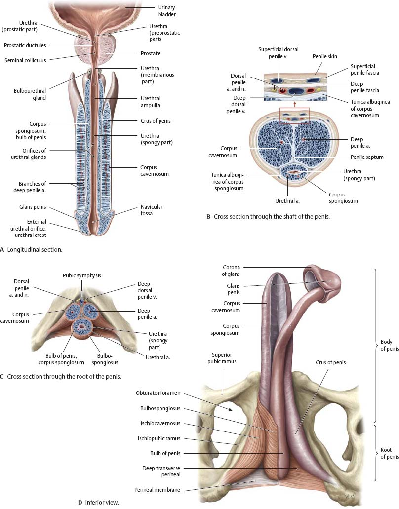 Reproductive Organs - Atlas of Anatomy
