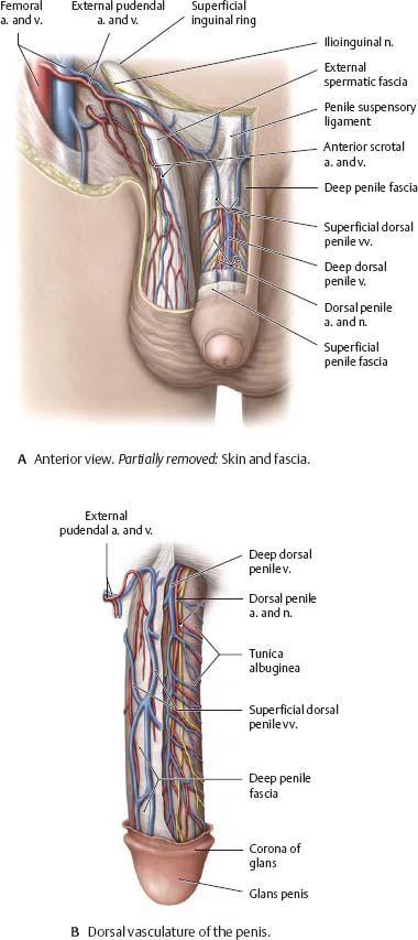 Reproductive Organs - Atlas of Anatomy