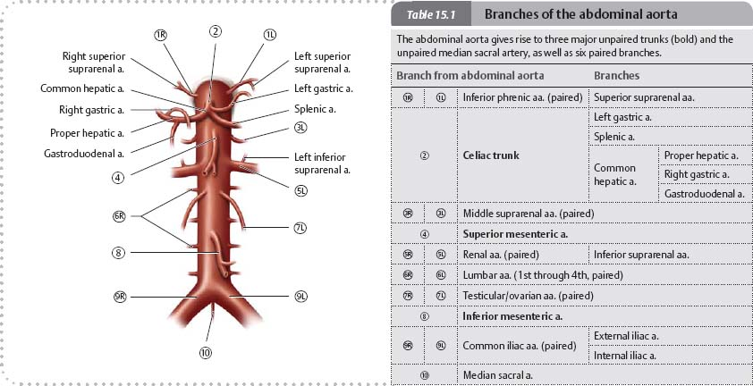 Arteries & Veins - Atlas of Anatomy
