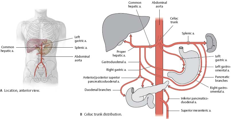 arteries & veins - atlas of anatomy, Cephalic Vein