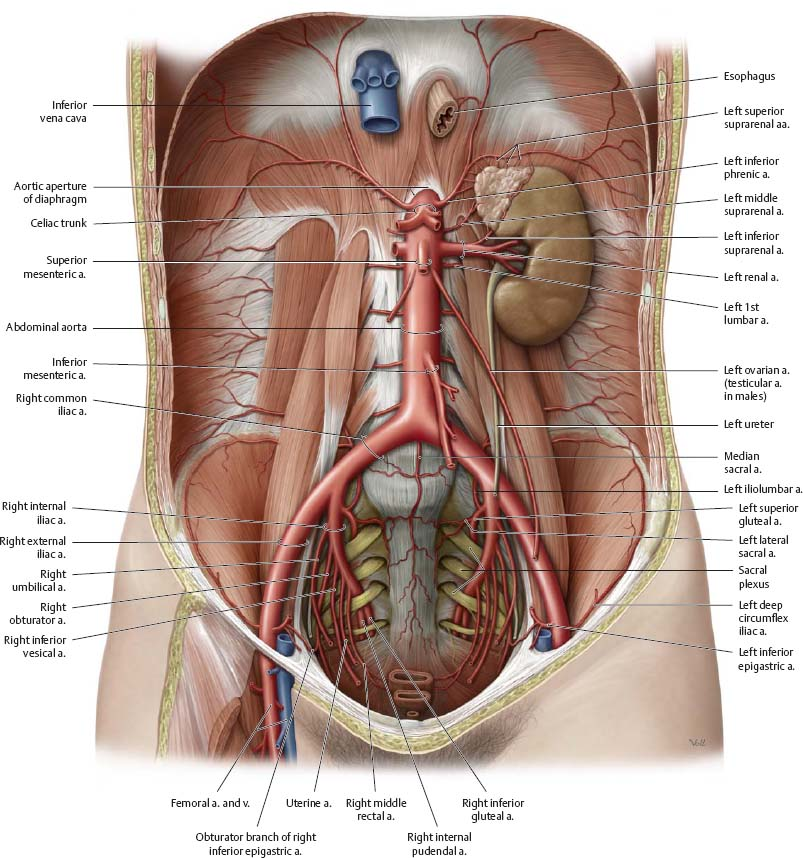 Arteries Veins Atlas Of Anatomy