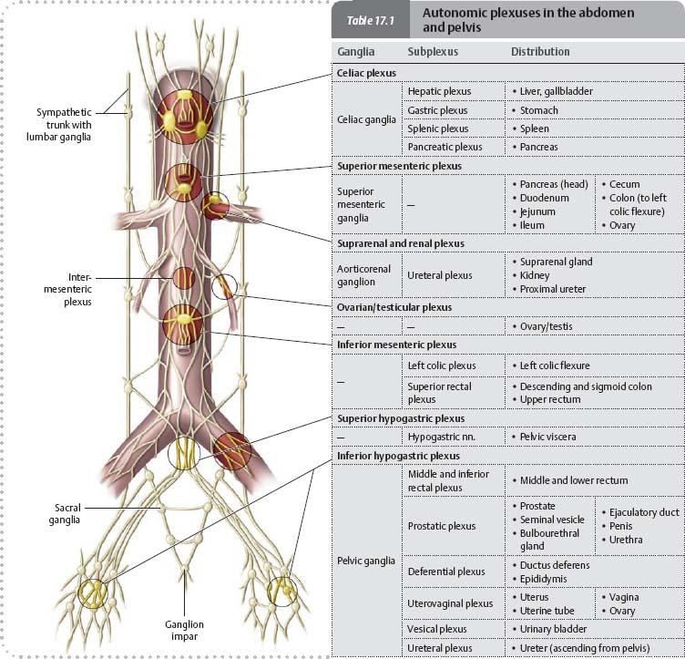 Nerves Atlas Of Anatomy
