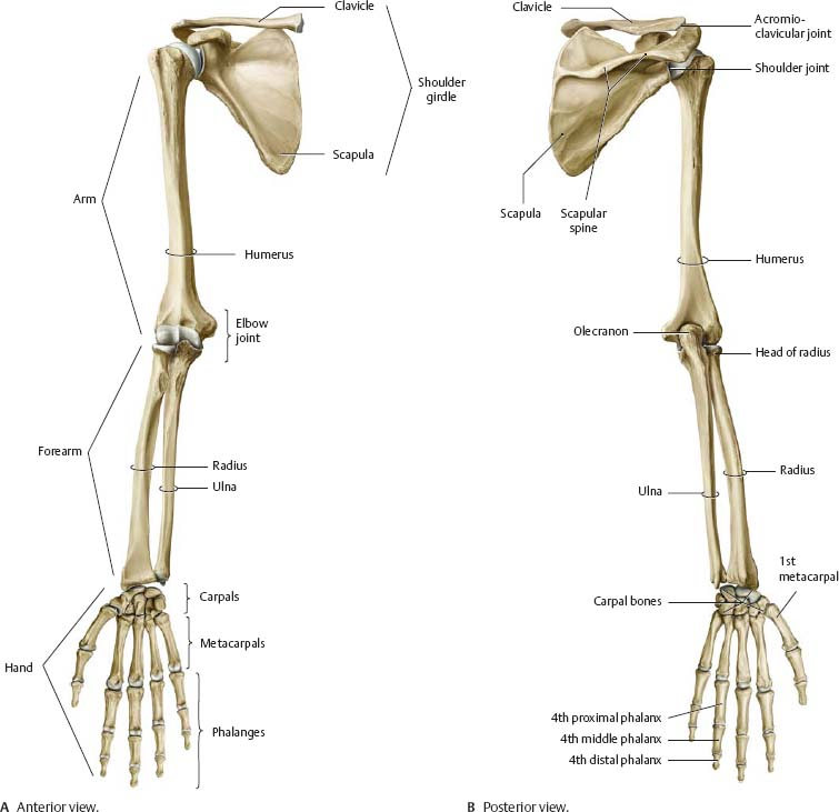 Shoulder Arm Atlas Of Anatomy