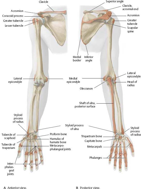 Anatomy of shoulder and arm