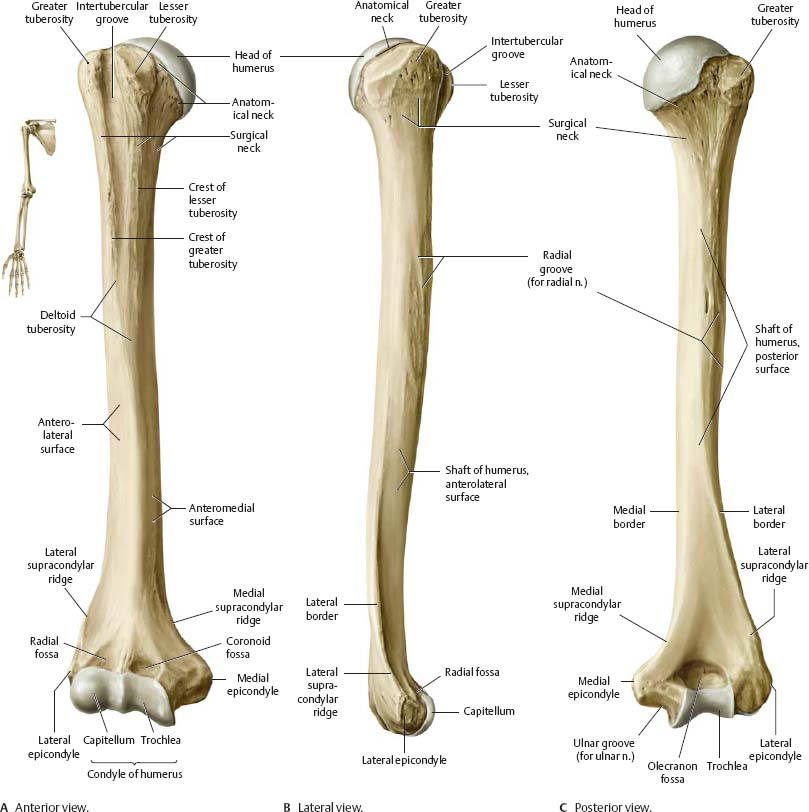 List Of Synonyms And Antonyms Of The Word Humerus Anatomy