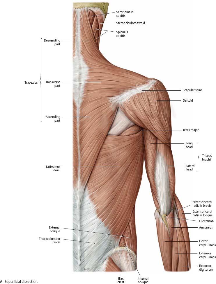 Shoulder Arm Atlas Of Anatomy