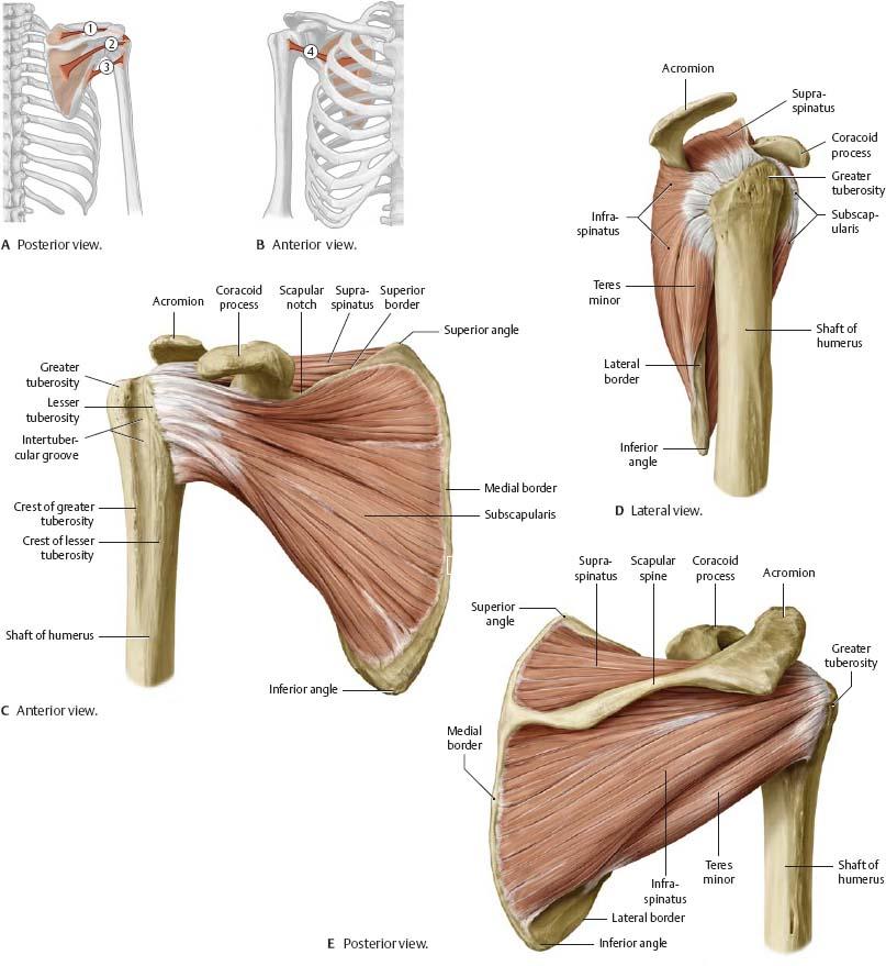 Shoulder & Arm - Atlas of Anatomy