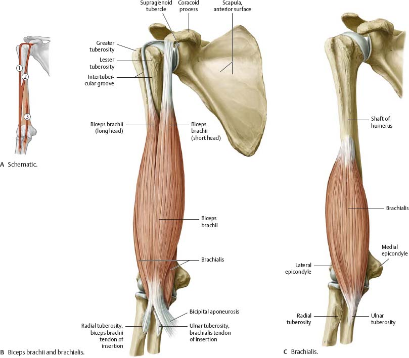 Shoulder & Arm - Atlas of Anatomy