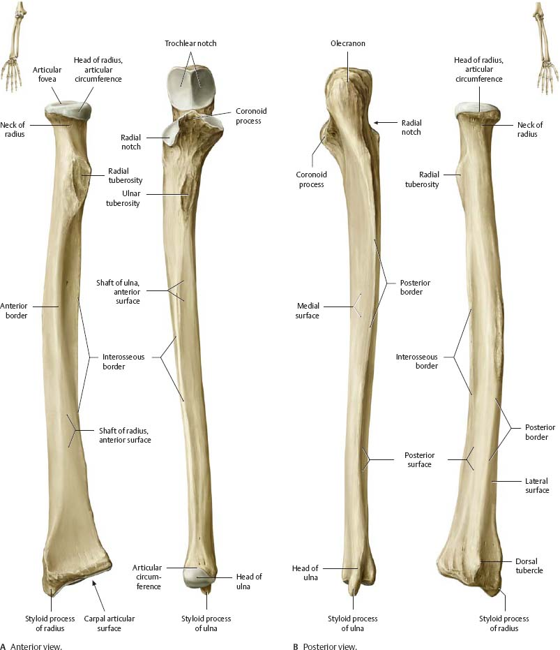 Elbow & Forearm - Atlas of Anatomy Ulna Bone