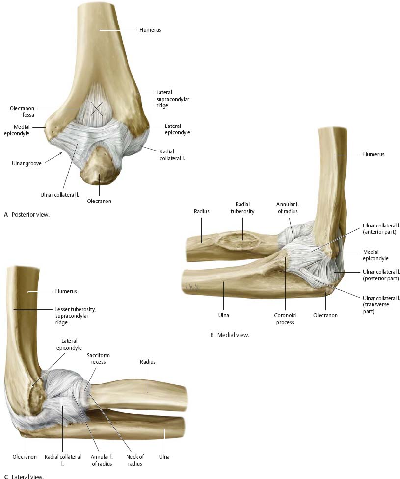 Elbow joint anatomy