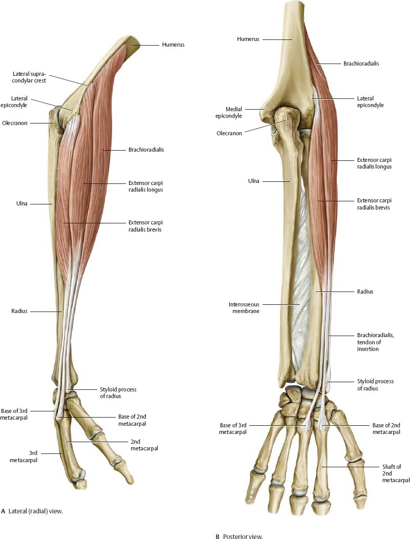 Elbow & Forearm - Atlas of Anatomy