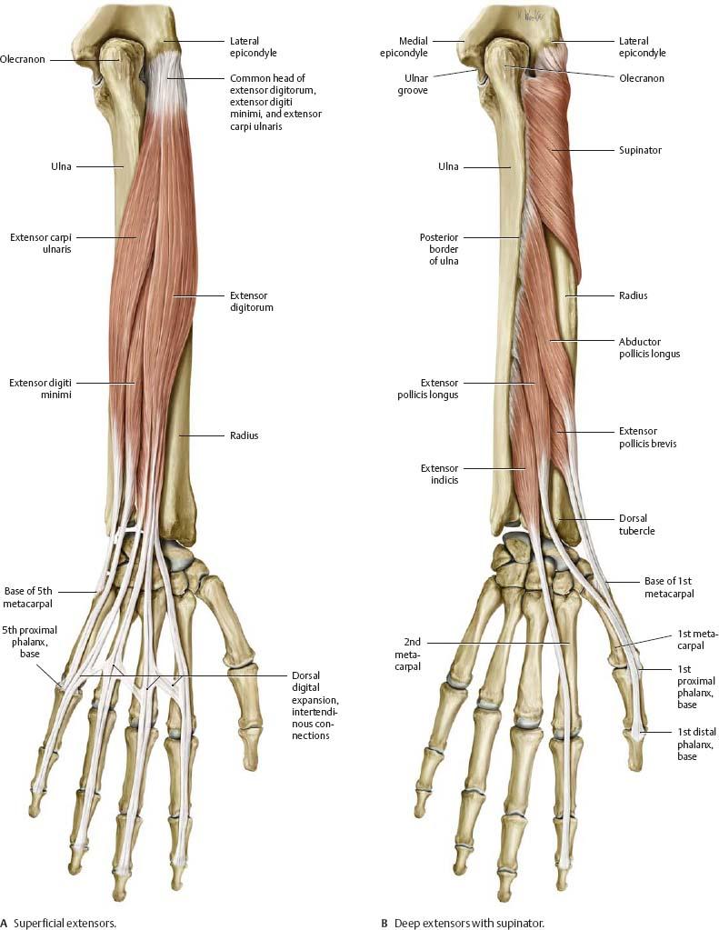 Ziemlich Distal And Proximal Anatomy Ideen - Anatomie Von ...