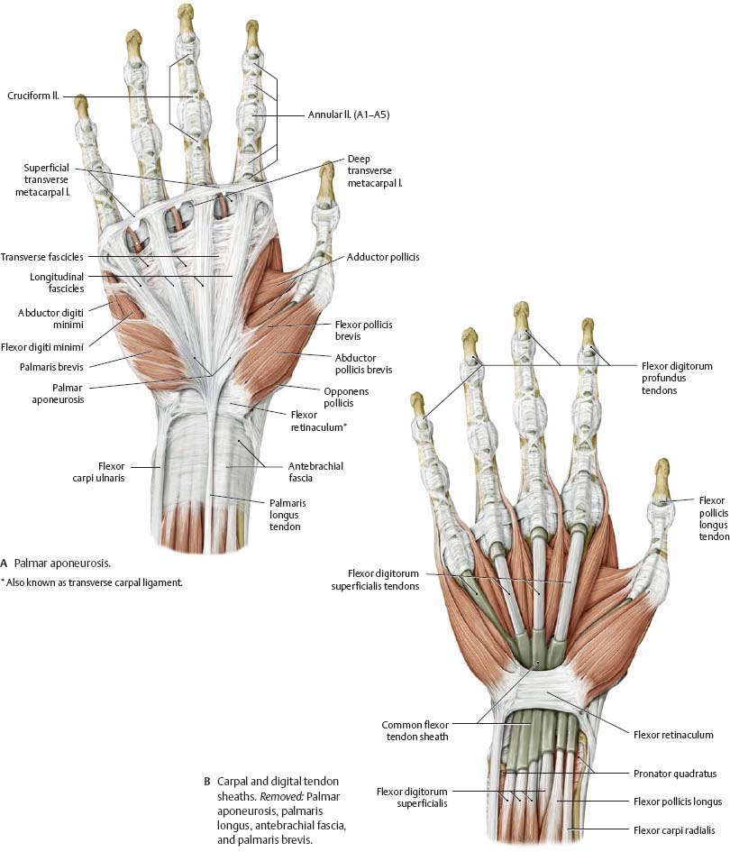 Wrist Hand Atlas Of Anatomy