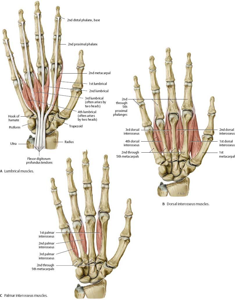 Wrist Hand Atlas Of Anatomy