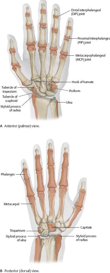 Surface Anatomy Atlas Of Anatomy