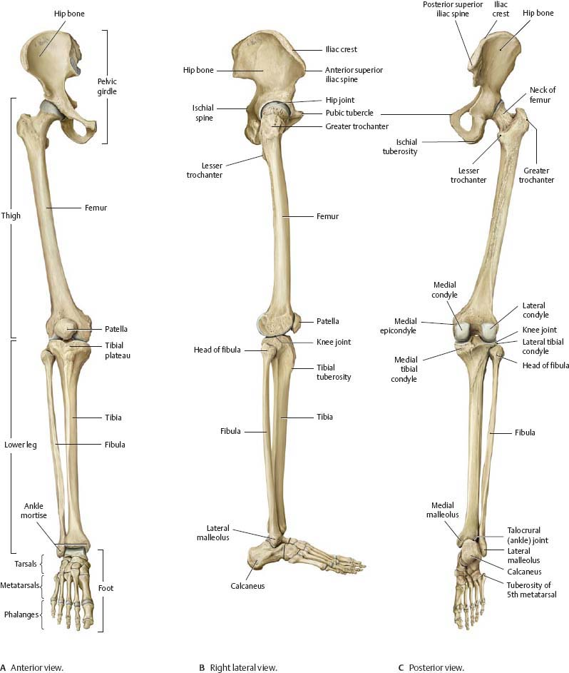 Hip & Thigh - Atlas of Anatomy