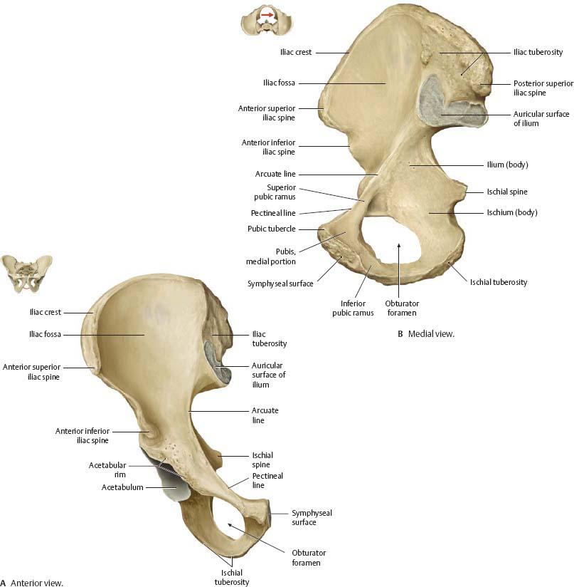 Hip Thigh Atlas Of Anatomy