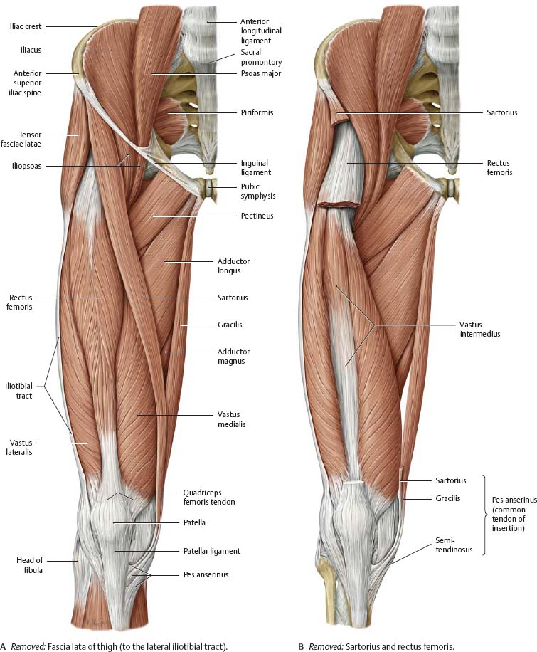 pics inner and outer thigh muscles - 755×916