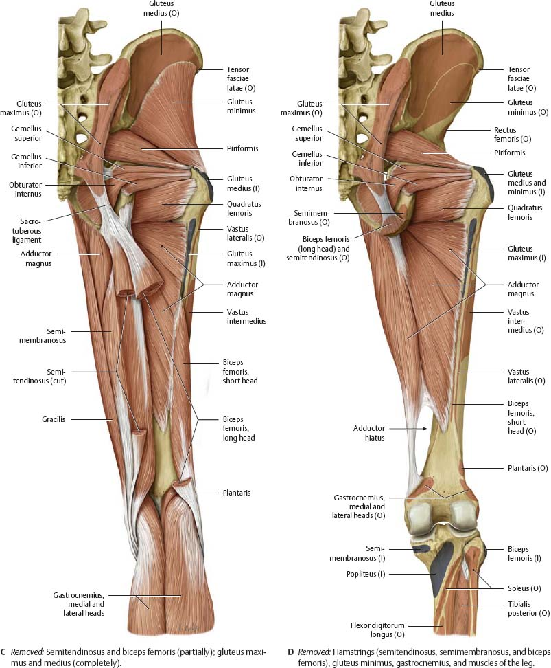 hip & thigh - atlas of anatomy, Muscles
