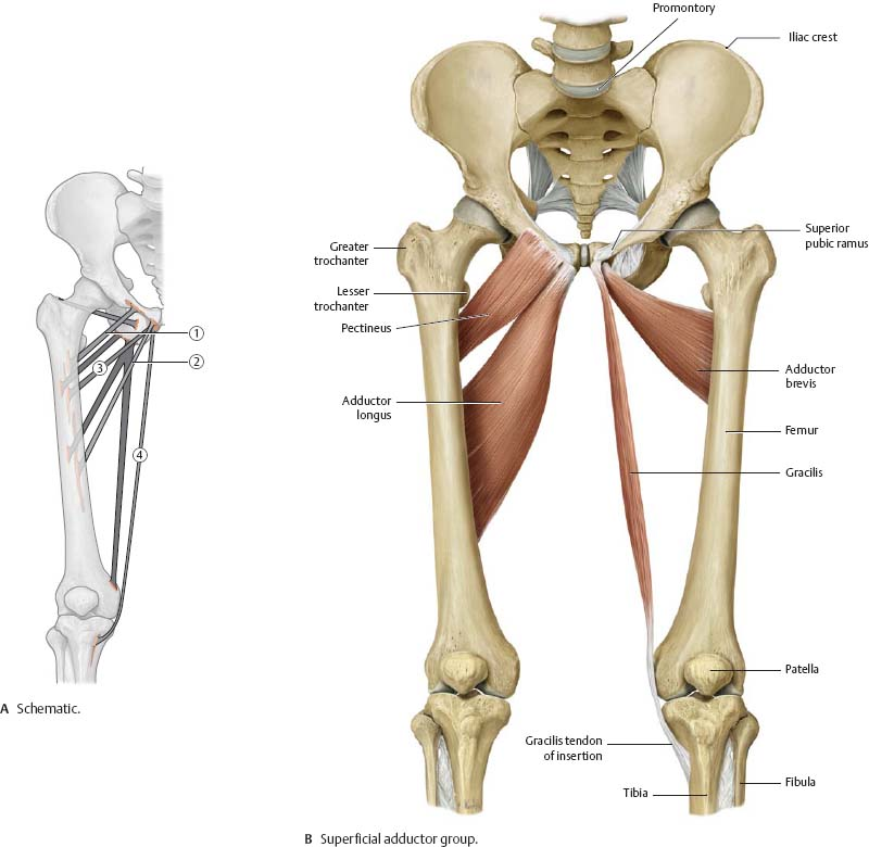 Right hip anatomy