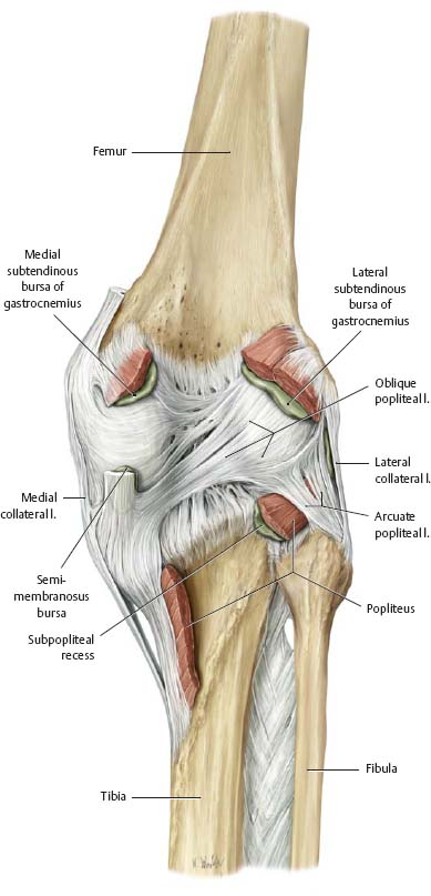 Knee Leg Atlas Of Anatomy