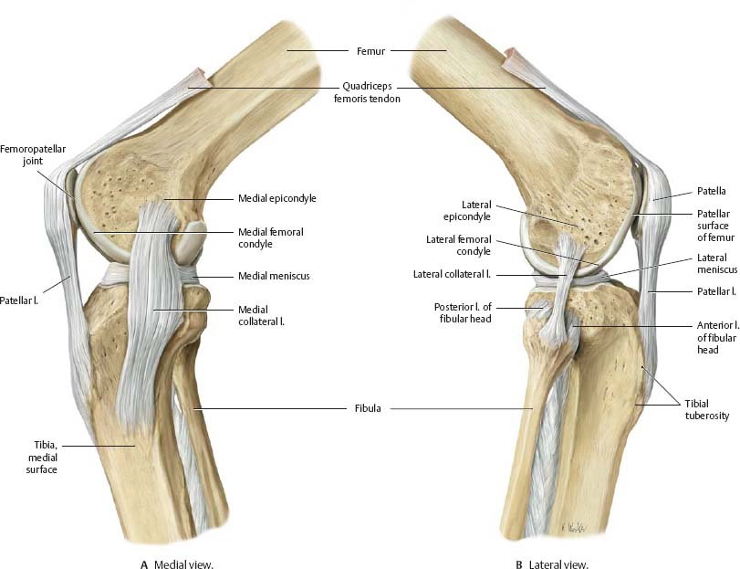 Knee & Leg - Atlas of Anatomy