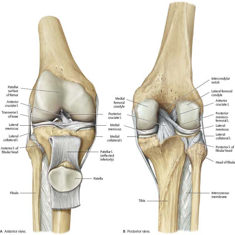 knee & leg - atlas of anatomy, Human Body