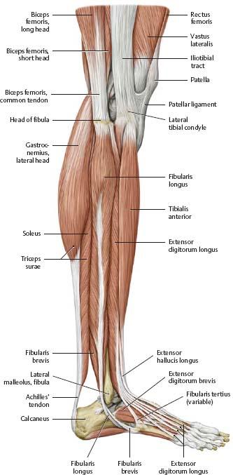 Knee Leg Atlas Of Anatomy