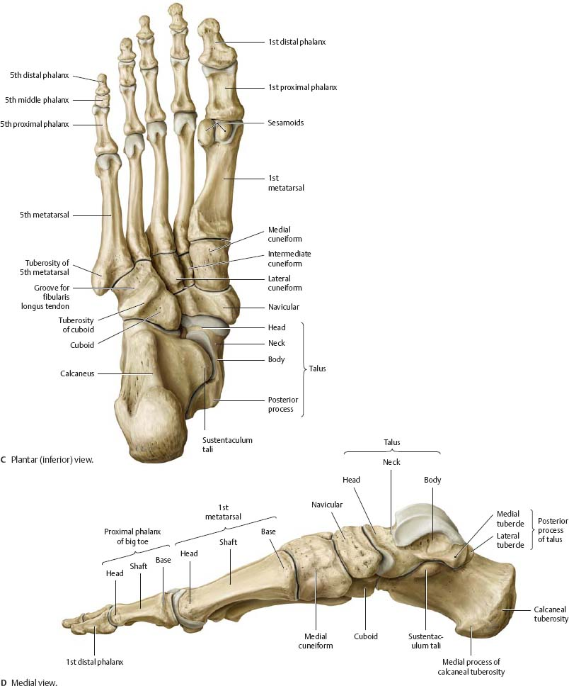 Foot Anatomy Picture Images - human body anatomy