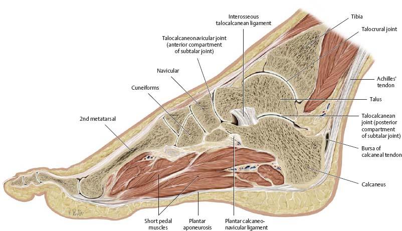 Medial in anatomy