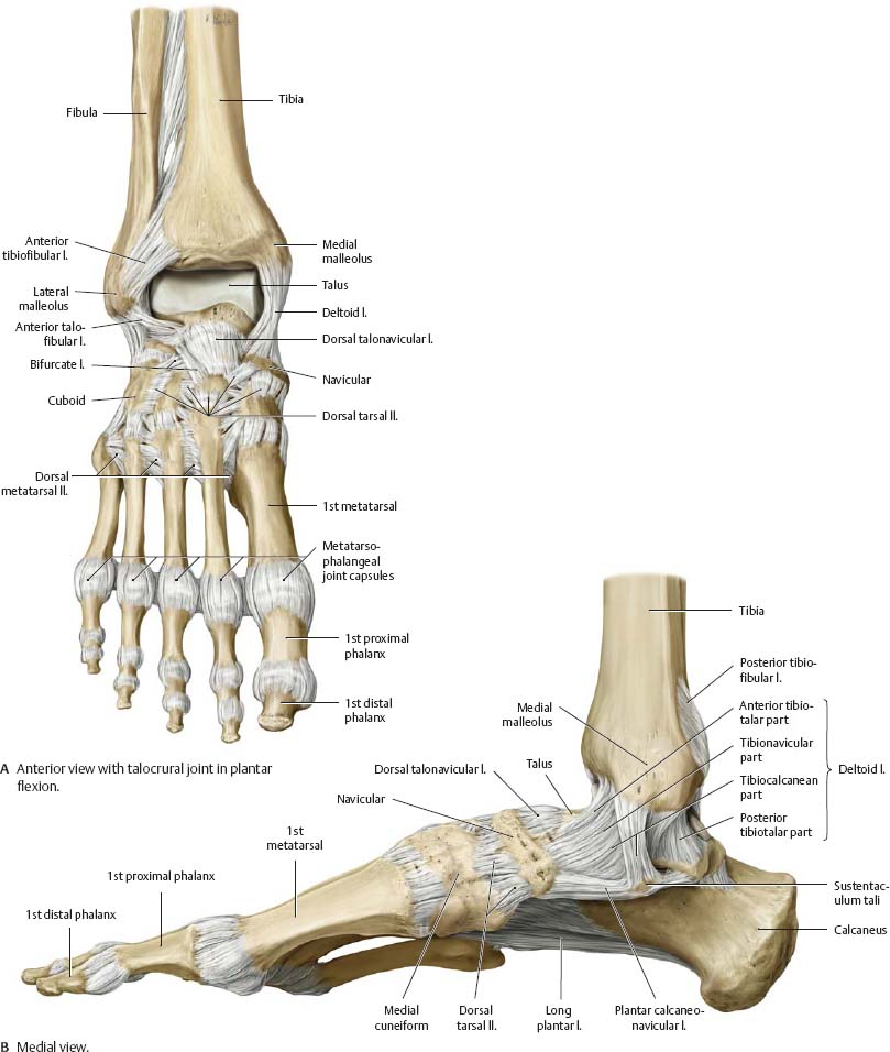 Ankle & Foot - Atlas of Anatomy