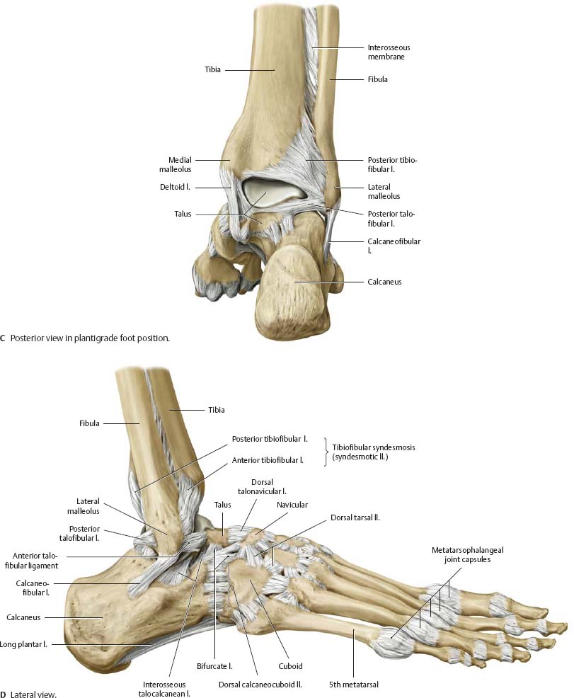 Foot ligament anatomy
