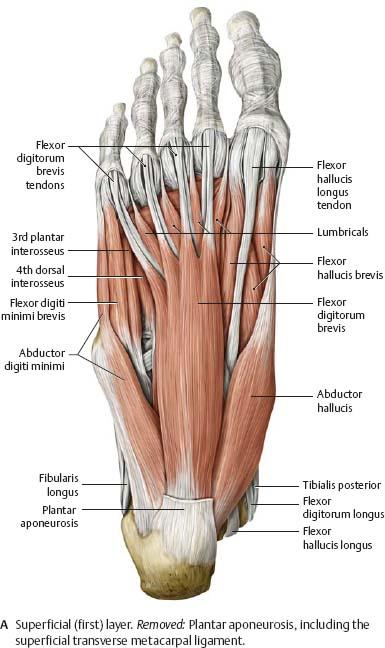 Ankle Foot Atlas Of Anatomy