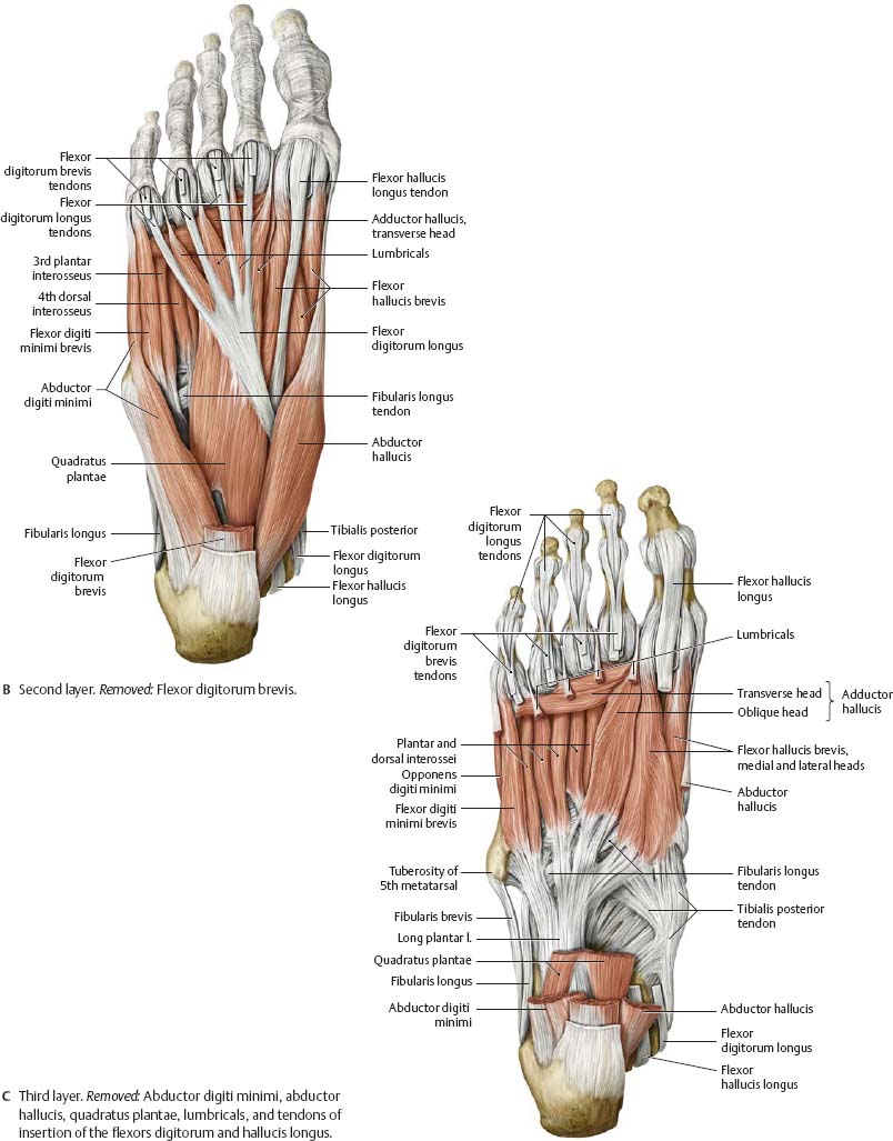 Ankle Foot Atlas Of Anatomy