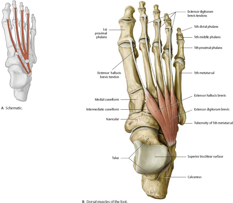 ankle & foot - atlas of anatomy, Cephalic Vein