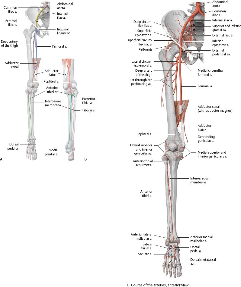 Neurovasculature - Atlas of Anatomy