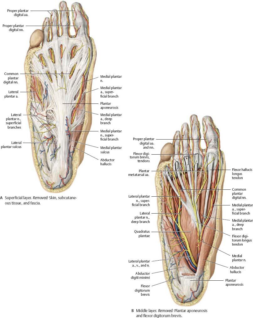 Neurovasculature - Atlas of Anatomy