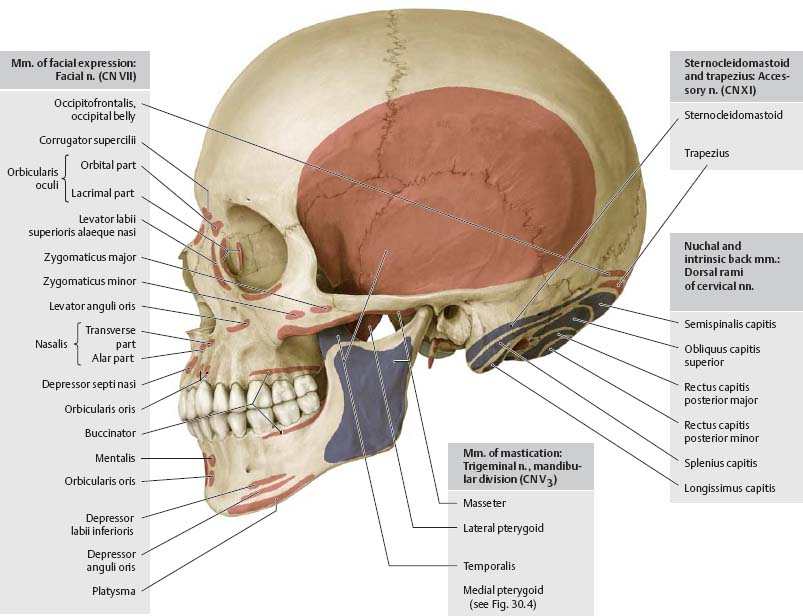 Muscles of the Skull & Face - Atlas of Anatomy