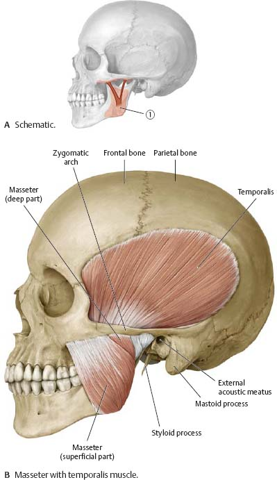 Temporalis muscle anatomy