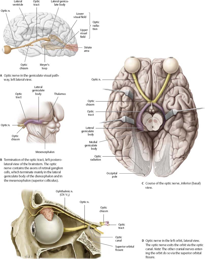 Cranial Nerves Atlas Of Anatomy