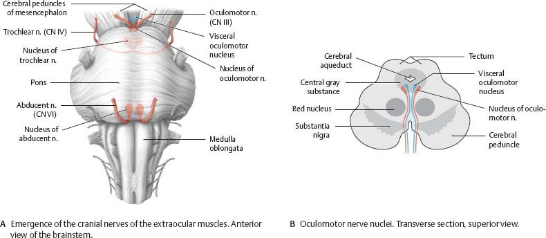 Cranial Nerves - Atlas of Anatomy