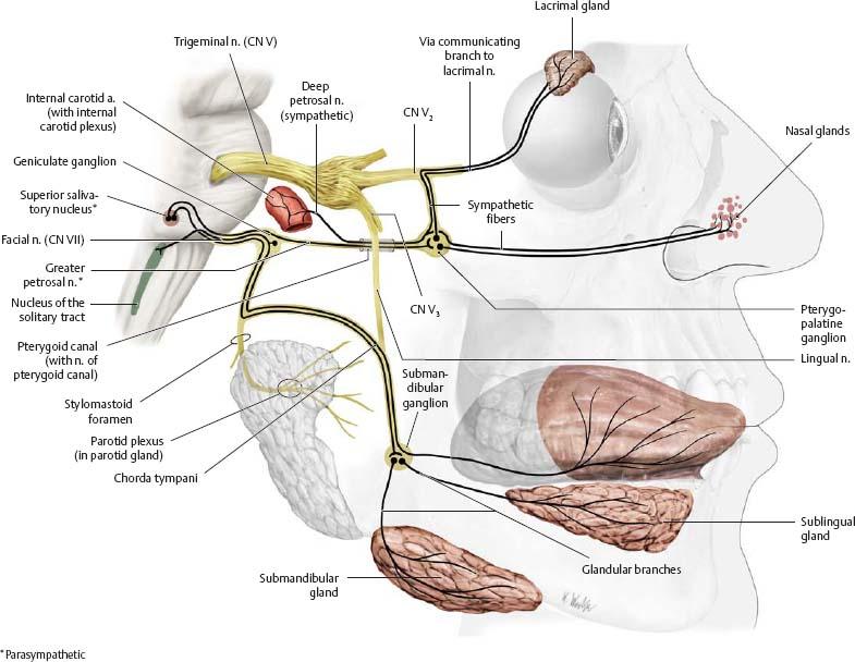Cranial Nerves Atlas Of Anatomy