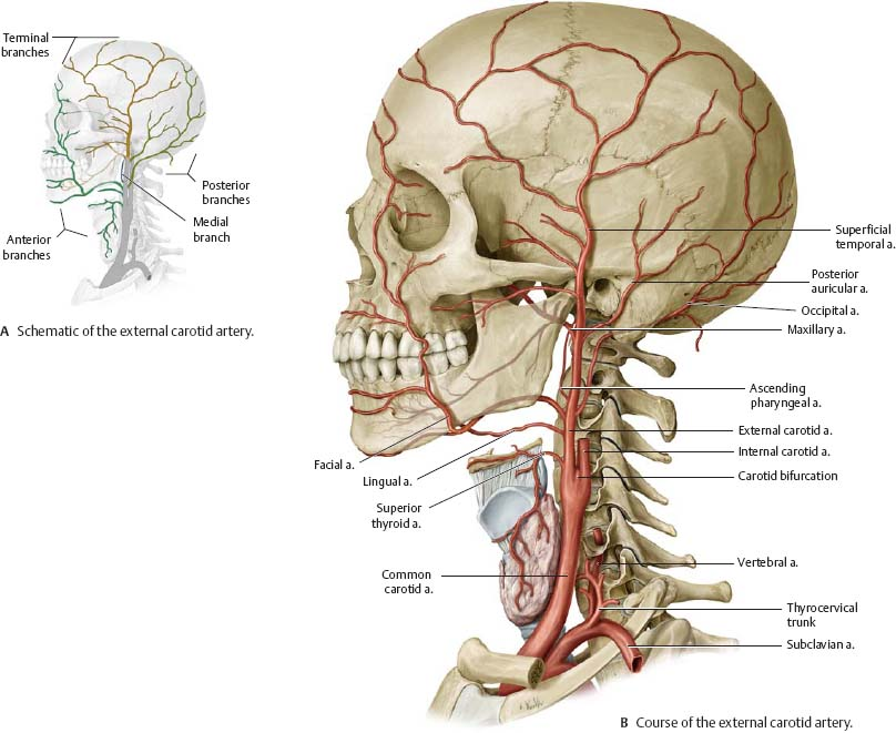 Neurovasculature of the Skull & Face - Atlas of Anatomy