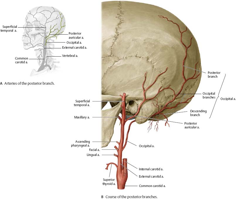Neurovasculature Of The Skull Face Atlas Of Anatomy