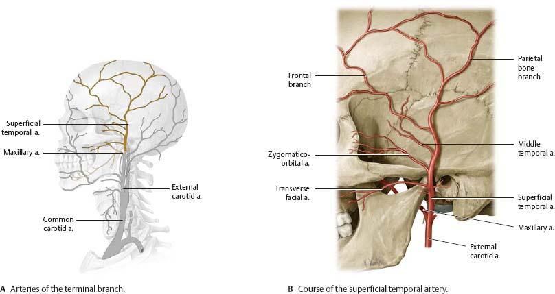 Neurovasculature of the Skull & Face - Atlas of Anatomy