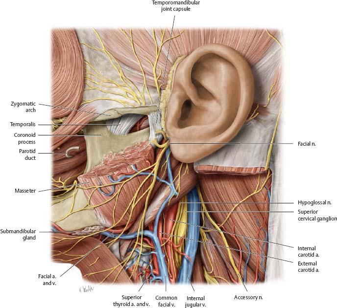 Neurovasculature of th...