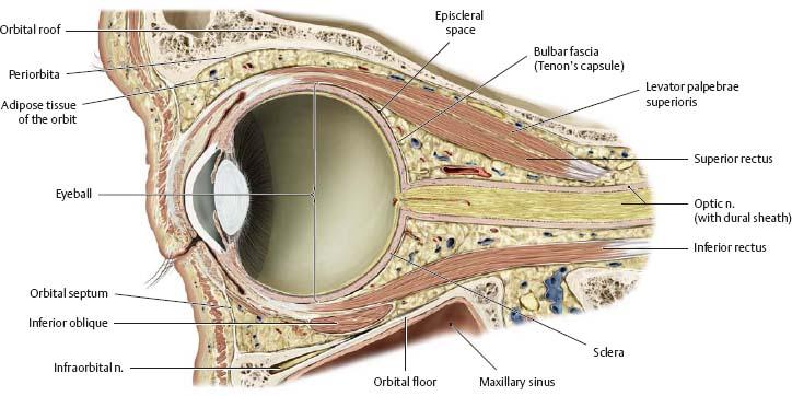 The orbit anatomy