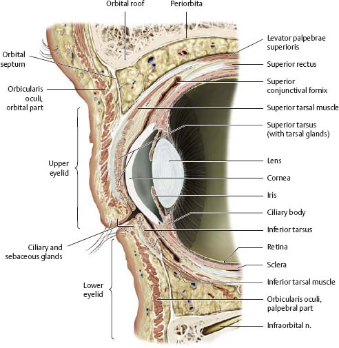 Eye orbit anatomy