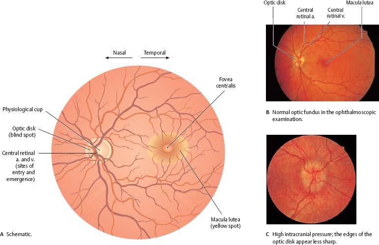 Orbit Eye Atlas Of Anatomy